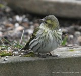 Eurasian Siskin, female