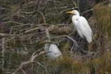 Camouflage Egrets