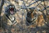 Tiger cubs 2 of 3