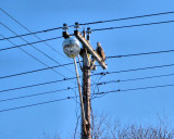 Hawk between high voltage wires