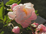 Rhododendron in Prosser, WA.