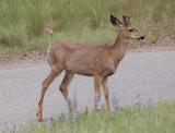 Mule Deer at the Sun Mountain Lodge
