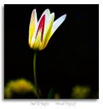 First-Tulip.jpg