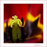 Tulip-in-Close.jpg