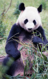 Chengdu - Panda