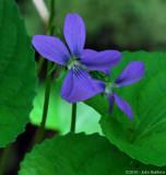 Violet 2010