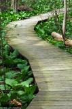 Skunk Cabbage Path