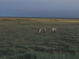 Herds of Caribou and Muskoxen