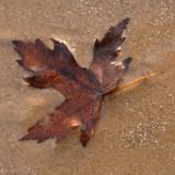 Maple leaf 2