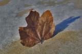 Maple leaf 3