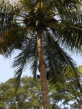 Source of fresh coconut.  (Note climber!)