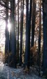 Black redwoods