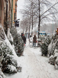 Christmas trees with natural snow