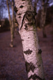 Birches in December morning 3