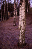 Birches in December morning 1