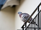 Dove on balcony
