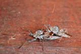 Assasin Bugs, or Wheel Bugs  (Arilus Cristatus)