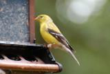 Gold Finch - Female