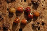 7 Ladybugs