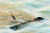 Waterflow Heron_NIK1537.jpg