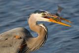 Heron's Breakfast_DSC3290.jpg