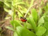 Ladybug5293a.jpg