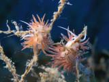 Making baby nudibranchs