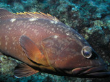 Up close and personal with a grumpy grouper