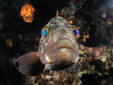 Another grouper that likes his own image