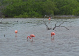 Flamingos east of Progreso
