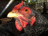 One of the plantation chickens
