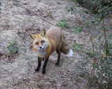 This fox is called Lucky.