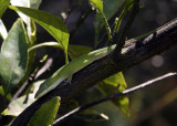 Lizard chillin' out in my orange tree