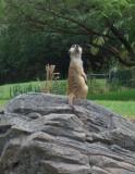 Animal Kingdom Meerkat