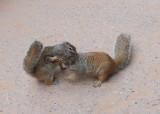 Sumo squirrel wrestling