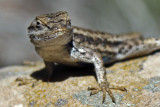 Lizard strikes a pose