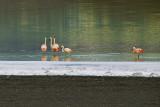 Flamingo, Laguna Amarga, Torres del Paine