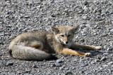 Fox, Torres del Paine