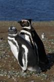 Magellanic penguins, Isla Magdalena