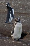 Penguins, Isla Magdalena, near Punta Arenas