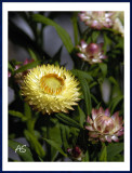 StrawFlower.jpg