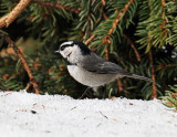 MountainChickadee.jpg
