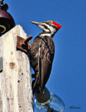 Pileated-Woodpecker-May12010.jpg