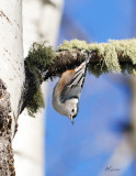 WhiteBreasted-Nuthatch.jpg