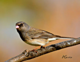 May16JUnco.jpg