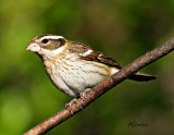 FemalleRose-BreastedGrosbeak.jpg