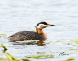 Red-Necked-Grebe.jpg