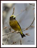 2008EveningGrosbeak.jpg