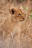 10 week old cub at Malamala