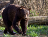 2009_black_bears